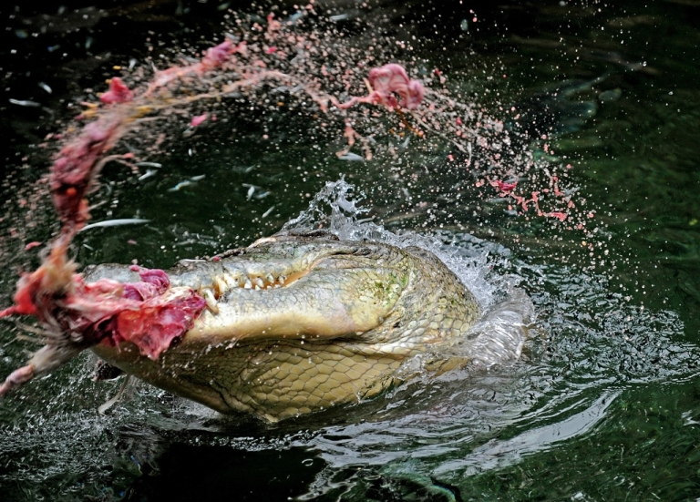 <p>Male crocodile 'Rex', five metres in length and estimated to be 30-40 years old, thrashes the water while holding a chicken in his mouth during the first public feeding session in his new Kakadu Gorge enclosure at Sydney Wildlife World on March 29, 2010.</p>