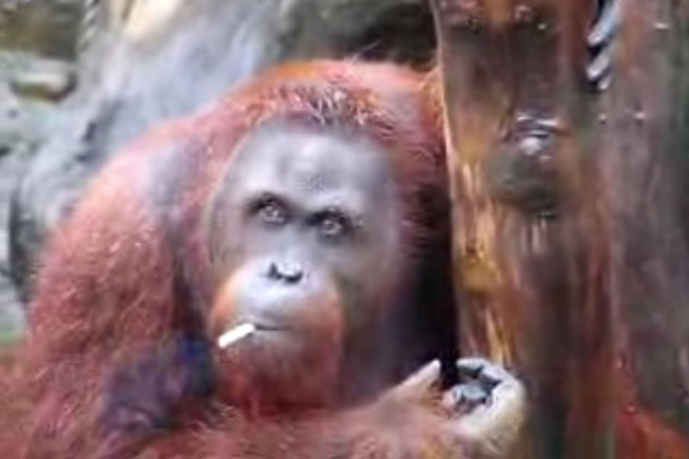<p>Officials at the Taru Jurug zoo said that they plan to move Tori away from visitors who throw their lit butts into her pen.</p>