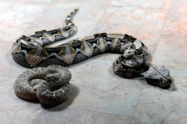 <p>A Brazilian man tried to smuggle 27 snakes worth $10,000 onto a flight departing from Orlando International Airport. He was arrested after security x-ray scanners detected the snakes hiding in his luggage.</p>