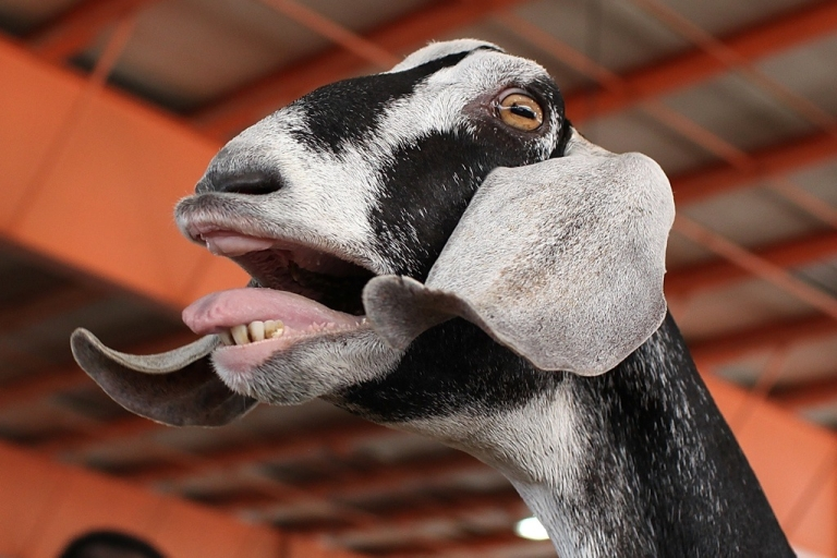 <p>South Africans will soon be able to fly with their goats.</p>
