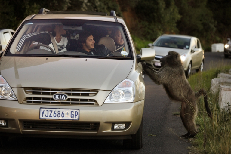 <p>A male baboon jumps up on a car in Cape Town, South Africa as tourists react after they fed him an orange. Urbanization is believed to be the main reason for the loss of the natural baboon habitat and increasing conflict between baboons and humans. Baboons are seen as a menace while they forage for food in an urban environment breaking into restaurants, garbage cans, where ever food is visible.</p>