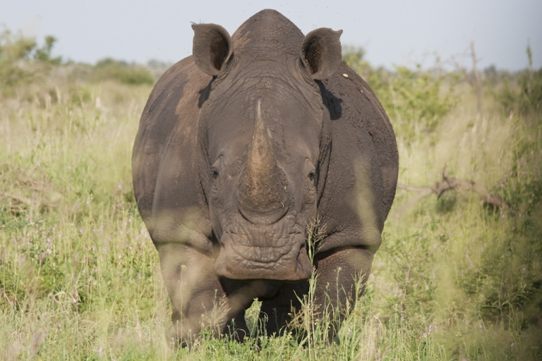 <p>A white rhino at the Kruger National Park in South Africa. A record number of rhinos are being killed in South Africa for their horns, which are then sent to Vietnam and China. Kruger park has hired an extra 150 rangers to combat rhino poaching in 2011.</p>