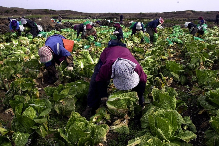 <p>South Korean women harvest cabbage to make the famous dish 'Kimchi.'</p>