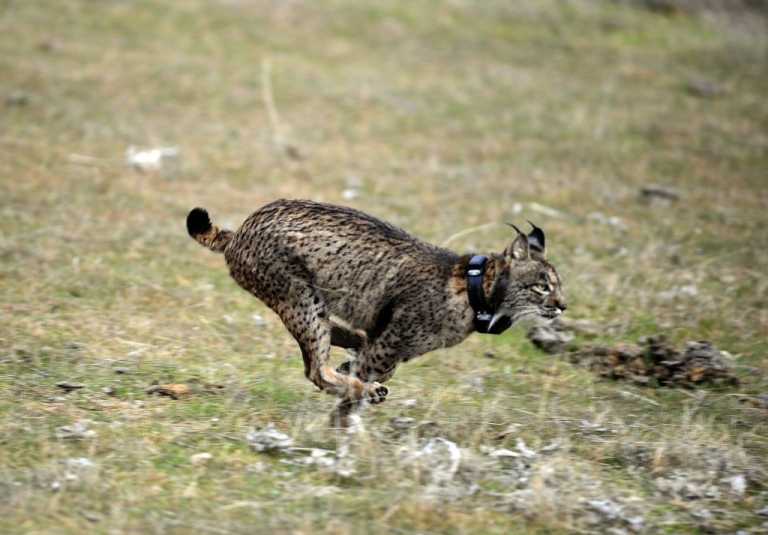 <p>An Iberian lynx is released into the wild in Spain during the first experimental reintroduction of two Iberian lynxes back in Dec. 14, 2009.  At the start of the 20th century there were 100,000 of the animals in Spain and Portugal, but that dropped to as little as 110.</p>