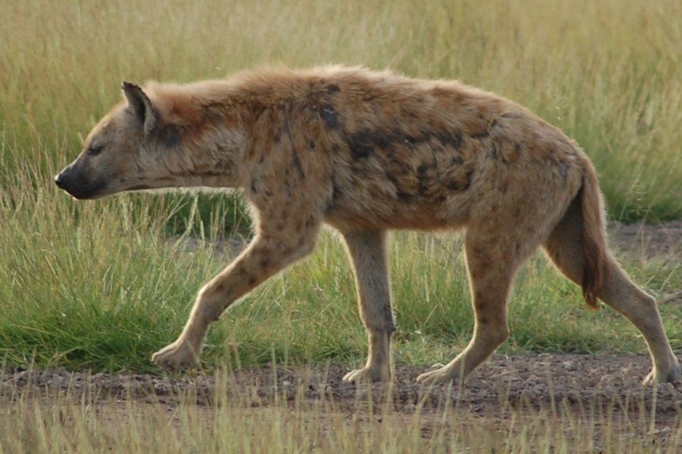 <p>The Spotted Hyena is one of the most highly adaptable animals in the wild and is capable of consuming nearly everything.</p>