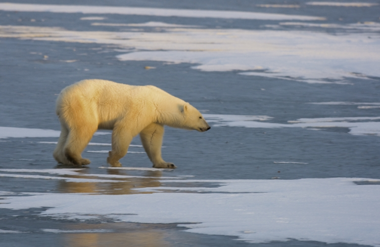 <p>A polar bear walks on the frozen tundra on the edge of Hudson Bay outside Churchill, Manitoba, Canada. Polar bears return every year to Churchill, the polar bear capital of the world, where they remain hunting for seals on the icepack until the spring thaw.</p>
