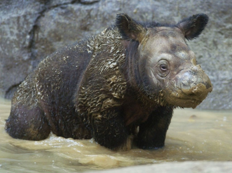 <p>A three-week-old Sumatran rhinoceros at Cincinnati Zoo in 2004. Another calf was born in Indonesia today, only the fifth birth in captivity ever recorded.</p>