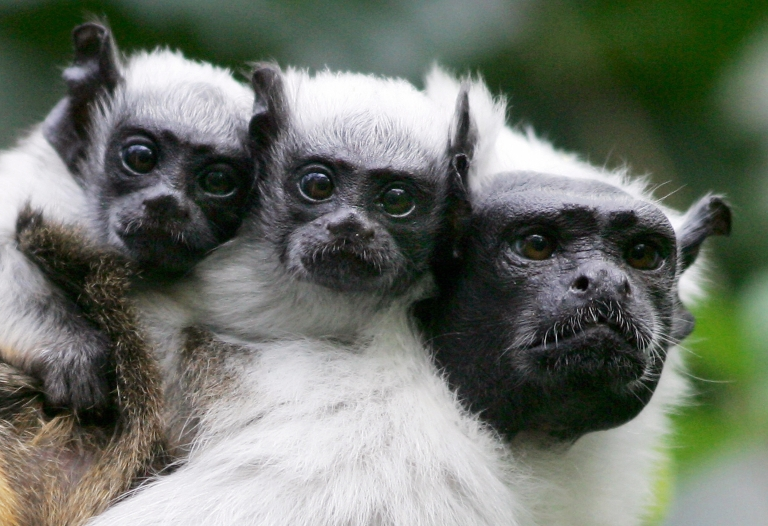 <p>Tamarin monkeys, like those seen here, will likely be the first to be negatively affected by climate change.</p>