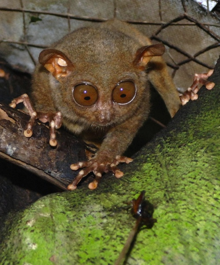 <p>BOHOL, PHILIPPINES: A tarsier munches on a cricket in a widlife sanctuary in the central Philippine island of Bohol 20 January 2006.</p>
