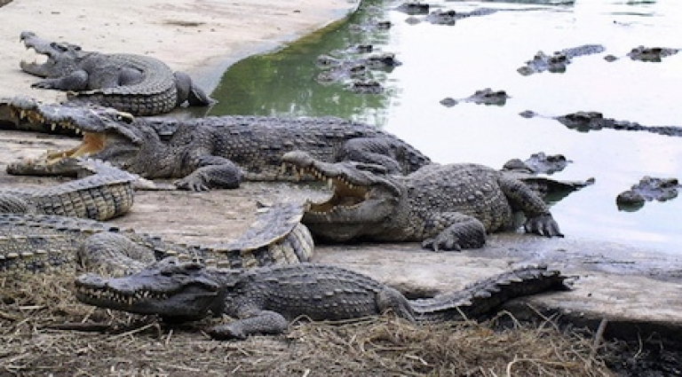<p>Crocodiles at a zoo on the outskirts of Bangkok in 2008.</p>
