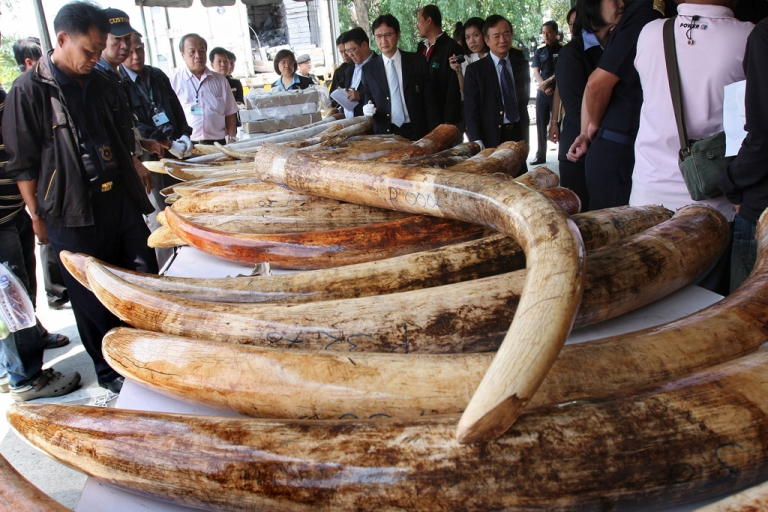 <p>Thai Customs Department officials inspect seized elephant tusks ahead of a news briefing in Bangkok on April 1, 2011.</p>