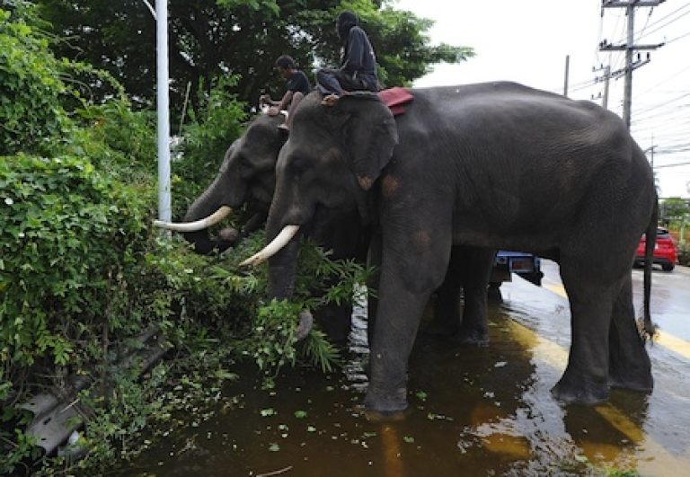 <p>Elephants stand in low-lying floodwater as they eat grass on the side of a street in the ancient Thai capital of Ayutthaya on October 12, 2011.</p>