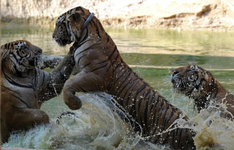 <p>Tigers play at a buddhist temple in Kanchanaburi province, Thailand, on April 24, 2012. Worldwide, tiger stocks are estimated to have fallen to only 3,200 tigers from approximately 100,000 a century ago.</p>