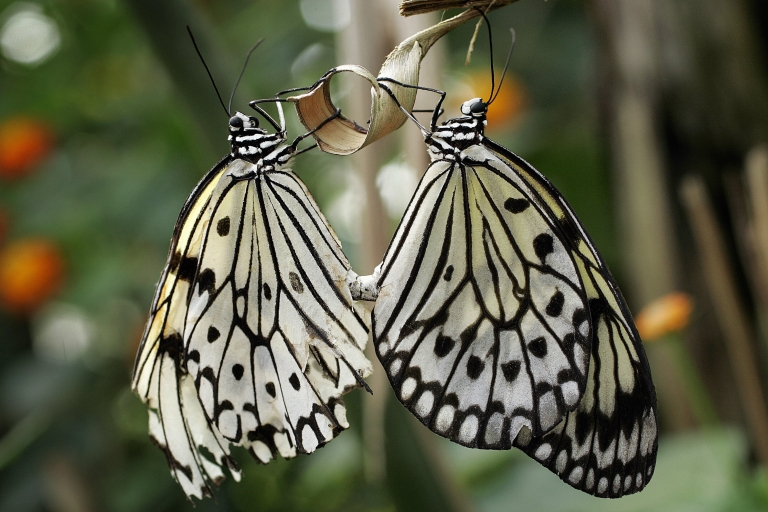 <p>Two White Tree Nymph butterflies hold a branch 03 April 2007 at the Papiliorama, Swiss tropical gardens, in Kerzers. The White Tree Nymph prefers coastal mangrove swamps and are common to Thailand.</p>