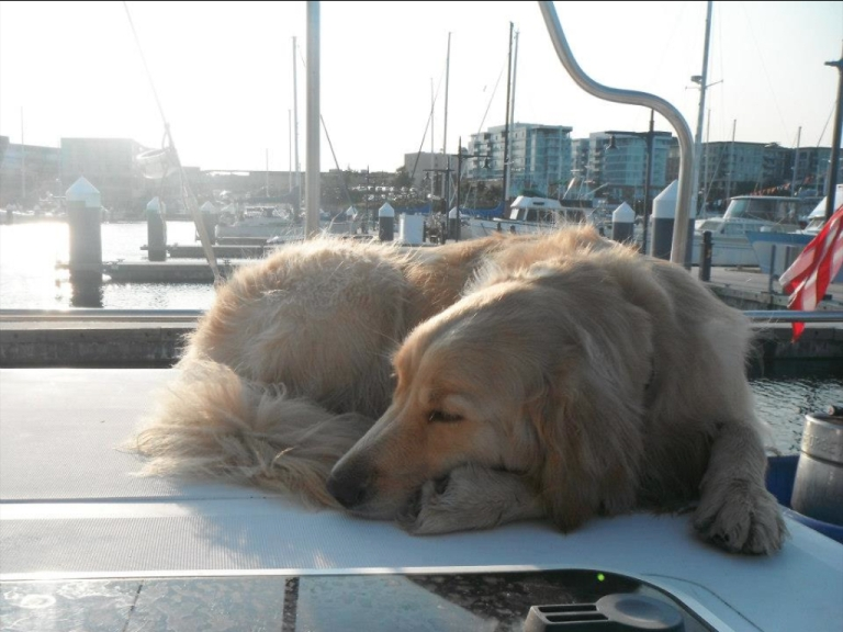 <p>Comfort dog Shami, one of eight golden retrievers on a mission of healing in Newtown, Connecticut, during a trip to Seattle. All dogs in Britain will have to be microchipped after 2016, the British government announced this week.</p>