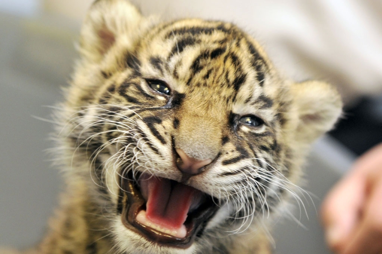 <p>A baby tiger named Daseepis growls at the Frankfurt Zoo on October 6, 2010.</p>