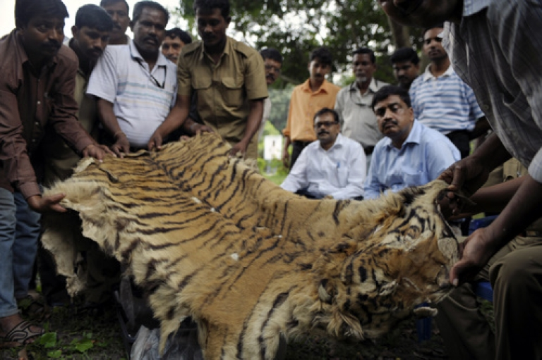<p>Indian forest officials display a seized bengal tiger skin in Kolkata on November 16, 2010. The skin was seized by a team of Sunderbans Tiger Reserve (STR) officials from a local market in the outskirts of Kolkata, while three people were arrested.</p>