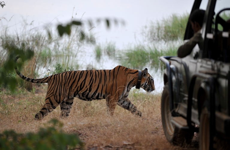 <p>Lawmakers in western India are waging a war against tiger poachers, making it legal to shoot animal hunters on site.</p>