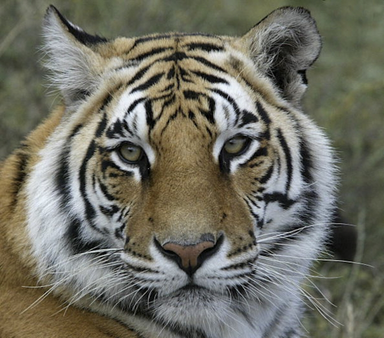 <p>Ron, one of two endangered Bengal tigers being rehabilitated to live in the wild, is pictured May 20, 2003, at Tiger Moon Sanctuary in Philippolis. The multi-million dollar rehabilitation program for the captive-bred tigers is being privately funded by the Varty family.</p>