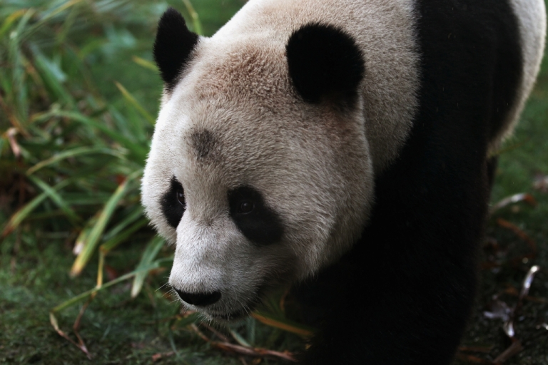 <p>Male panda Yang Guang makes his first appearance in front of the media since arriving from China on December 12, 2011 in Edinburgh, Scotland. The eight-year-old pair of giant pandas arrived on a specially chartered flight from China over a week ago and are the first to live in the UK for 17 years. Edinburgh zoo are hopeful that the pandas will give birth to cubs during their 10 year stay in Scotland.</p>