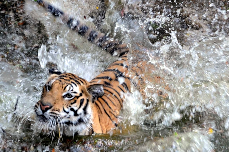 <p>A Royal Bengal tiger splashes into a pond at the Nehru Zoological Park in Hyderabad on April 23, 2010.</p>