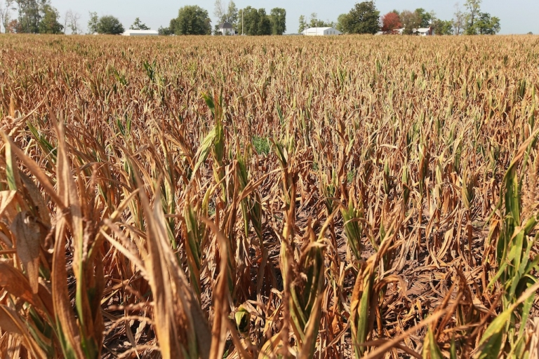 <p>Corn plants struggle to survive in a drought-stricken farm field on July 18, 2012 near Vincennes, Indiana. The corn and soybean belt in the middle of the nation is experiencing one of the worst droughts in more than five decades. Indiana was the nation's fourth largest corn producer in 2011.</p>