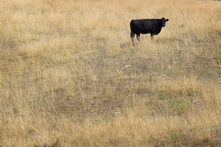 <p>A cow feeds in a drought-damaged pasture as temperatures climb near 100 degrees in Indiana.</p>