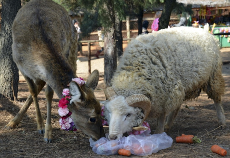 <p>This photo taken on February 11, 2012 shows a ram named Changmao (R), who has formed an inseparable bond with a female deer named Chunzi (L), sharing a meal together at the Yunnan Wild Animal Park in Kunming, southwest China's Yunnan province. Staff at the wildlife park turned to the country's half-a-billion Internet users for advice after Changmao and Chunzi began mating, and now a wedding has been planned on Valentine's Day for the couple.</p>
