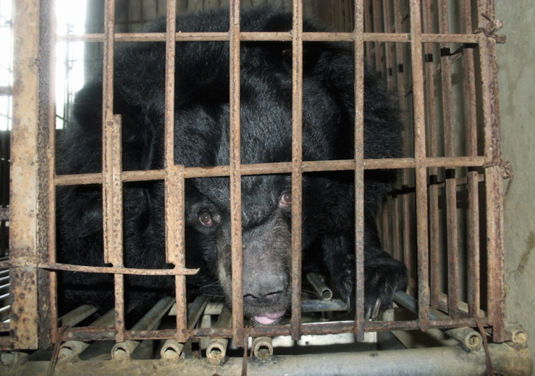 <p>A caged bear is raised for bile extraction at a private restaurant in Van Dinh town, northern province of Ha Tay, November 23, 2006. Keeping bears caged for commercial purposes has been banned in Vietnam for nearly two years. But experts say 4,000-5,000 remain caged, many feeding the illicit trade, sometimes in battery facilities with hundreds of animals.</p>