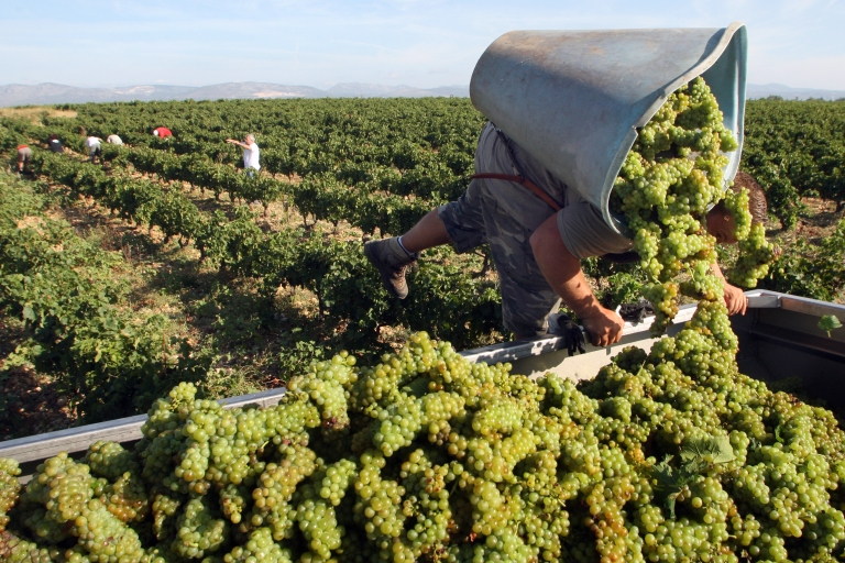 <p>A vintager harvests Muscat grapes in the southern French town of Rivesaltes. The changing environment may force the French to change their strict system for producing wines.</p>