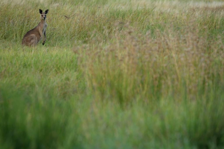 <p>A wallaby in a paddock in Barcaldine, Australia. Farmers say the marsupials are getting stoned on poppy seeds and hopping around in circles.</p>