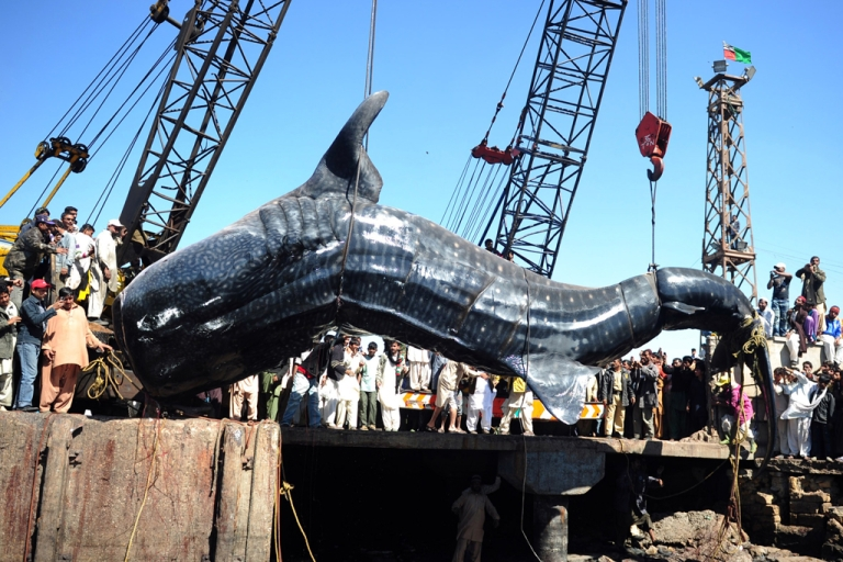 <p>Pakistani fishermen use cranes to pull the carcass of a whale shark from the waters at a fish harbor in Karachi on February 7, 2012. The 40-feet whale, weighing about 6-7 tons, was found dead in Arabian Sea in the port city of Karachi.</p>
