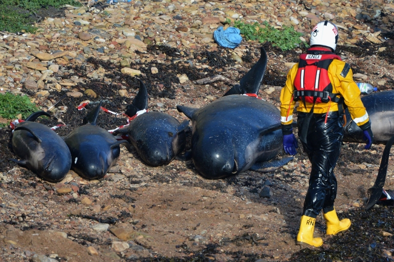 <p>PITTENWEEM, SCOTLAND - Emergency service personnel walk near beached whales as they continue in their rescue attempt to save a large number of pilot whales who have beached on September 1, 2012 in Pittenweem, Scotland. Ten of the whales were rescued Monday by floating them out to sea.</p>