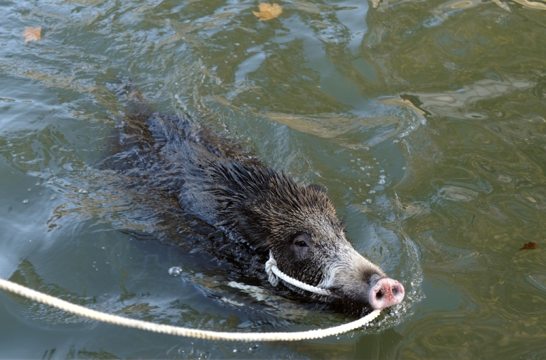 <p>European boars are said to be hazardous for Mexican fauna</p>