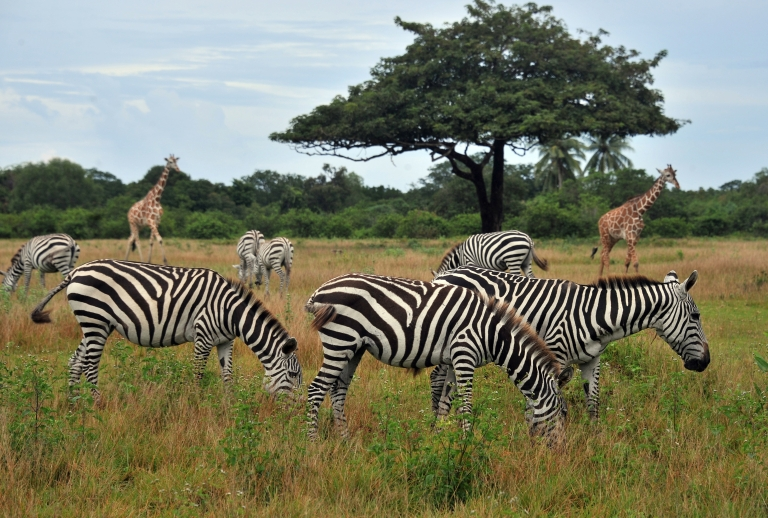 <p>Zebras grazing at the Calauit Island wildlife sanctuary in Busuanga, Palawan province, in the western Philippines, on Sept. 17, 2011.</p>