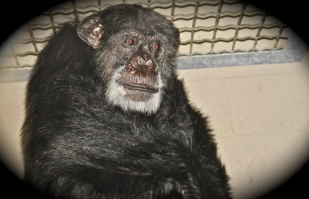 Oliver Schimpanse