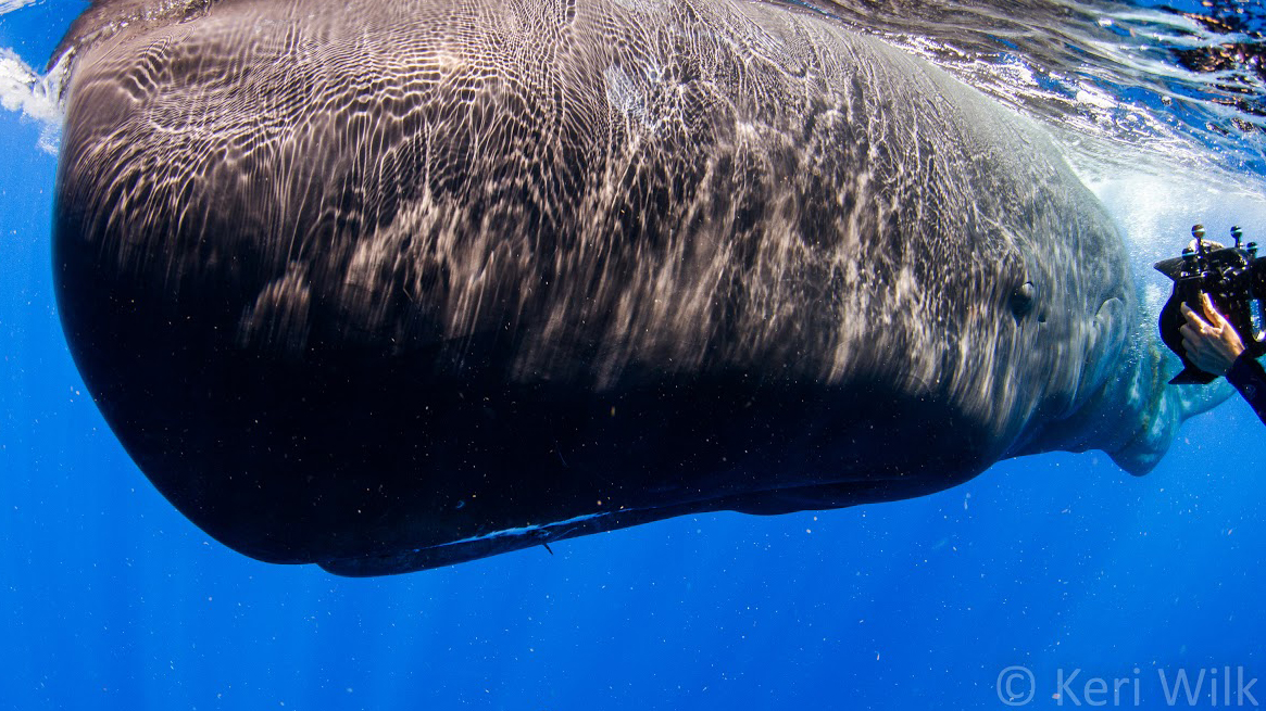Photographing a sperm whale off the coast of Dominica.