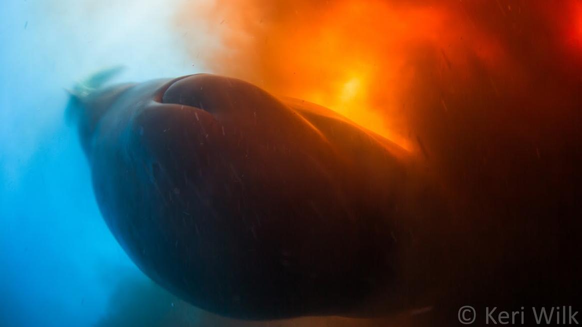 Sperm whale defaecating near photographer Keri Wilk